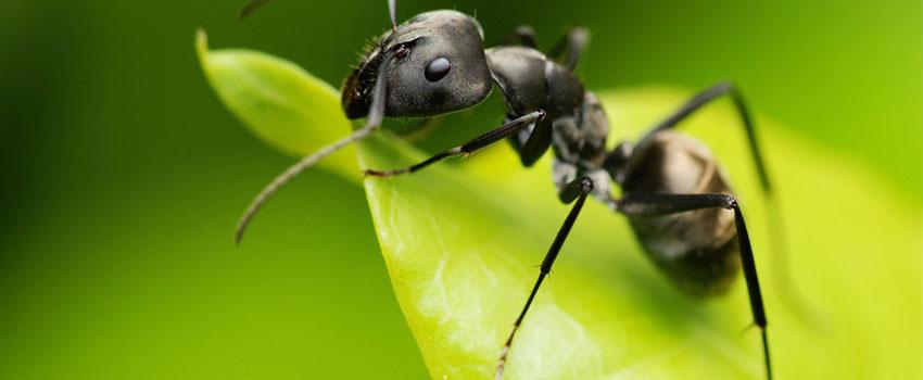 Animal Mating Ritual Ant