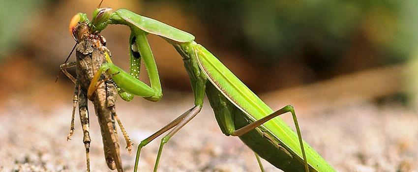 Animal Mating Praying Mantis