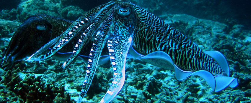 Animal Mating Ritual Cuttlefish