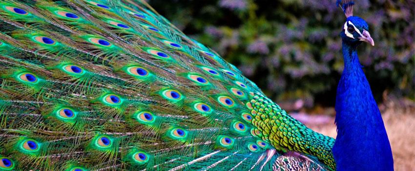 Animal Mating Ritual Peacock